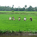 Paddy Field Workers by Mini Arora