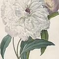 Paeonia Flagrans Peony by Pierre Joseph Redoute