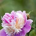 Paeonia Lactiflora 'raspberry Sundae' by Maria Mosolova