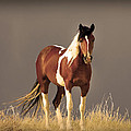 Paint Filly Wild Mustang Sepia Sky by Rich Franco