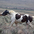 Paint Mustang Stallion by Jean Clark