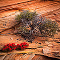 Paintbrush And Juniper by Inge Johnsson