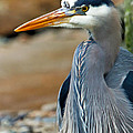 Painted Blue Heron by Athena Mckinzie
