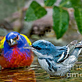 Painted Bunting & Cerulean Warbler by Anthony Mercieca