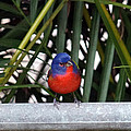 Painted Bunting Bird by Dennis Sotolongo
