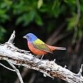Painted Bunting by Dan Williams