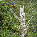 Painted Bunting by David Waldrop