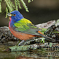 Painted Bunting Drinking by Anthony Mercieca