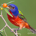 Painted Bunting Eating Granjeno Berry by Jerry Fornarotto