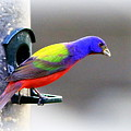 Painted Bunting - Img 9755-004 by Travis Truelove