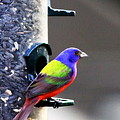 Painted Bunting - Img 9757-002 by Travis Truelove