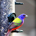 Painted Bunting - Img_9756-004 by Travis Truelove