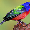 Painted Bunting by Millard H. Sharp