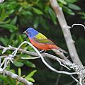 Painted Bunting Out On A Limb by Dan Williams