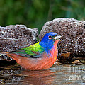 Painted Bunting Passerina Ciris In Water by Anthony Mercieca
