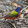 Painted Bunting by Paul Golder