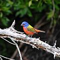 Painted Bunting Perched On Limb by Dan Williams