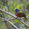 Painted Bunting by Sandy Swanson