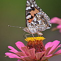 Painted Ladies Left Profile by Kathy Gibbons