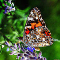 Painted Lady Butterfly by Karen Slagle