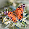 Painted Lady Butterfly by Kerri Farley
