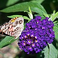 Painted Lady Butterfly by Lynne Miller