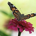 Painted Lady Butterfly On Zinnia by MTBobbins Photography