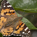 Painted Lady Butterfly by Richard Thomas