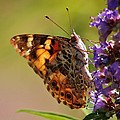 Painted Lady by Marcia Breznay