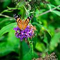 Painted Lady by Mark Dodd