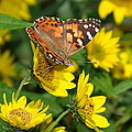 Painted Lady by James Peterson