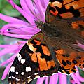 Painted Lady by Monte Landis
