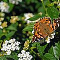 Painted Lady by Skip Willits