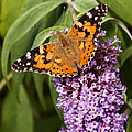 Painted Lady by Stuart Gennery