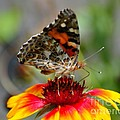 Painted Lady by Todd Hostetter