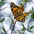Painted Lady by Van Allen Photography