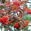 Painted Mountain Ash Berries by Will Borden