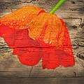 Painted Poppy On Wood by Randall Branham