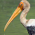 Painted Stork Mycteria Leucocephala by Panoramic Images
