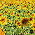 Painted Sunflower Field by Eva Kaufman