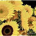 Painted Sunflowers by Tom Gari Gallery-Three-Photography