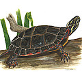 Painted Turtle by Cindy Hitchcock