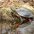 Painted Turtle Climbing Onto Shore by Robert Hamm