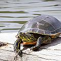 Painted Turtle by Michael Chatt