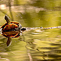 Painted Turtle by Peggy Collins