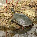 Painted Turtle Reflected In Water by Robert Hamm