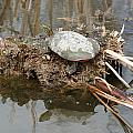 Painted Turtle Sunning On A Mud Flat by Robert Hamm