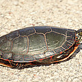 Painted Turtle by Thomas Young