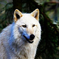 Painted White Wolf by Steve McKinzie