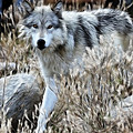 Painted Wolf by Athena Mckinzie